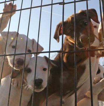 Oltre 400 cani nei campo rom