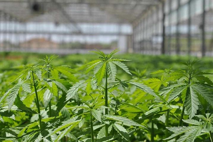 Cannabis light, è crollo di vendite