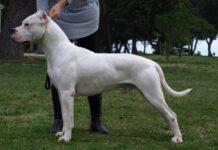 patentino cane speciale