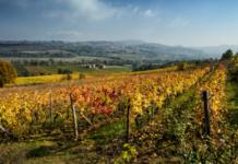 AutunnoDiVino: il foliageesplode tra i filari dei vigneti piemontesi - Mauizio Ravera