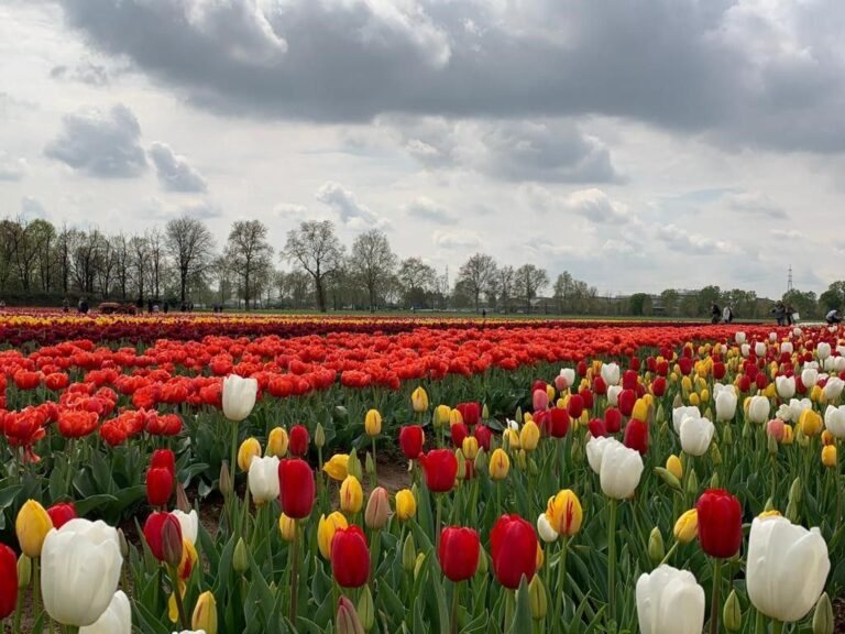 Arese, apre il giardino di tulipani (anche in zona rossa)